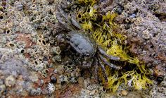 The high intertidal lined shore (Pachygrapsus crassipes) crab. Most #crabs will consume anything and thus act to clean up the tidepools. This is just one of the thousands of species of marine plants and animals found in the small bodies of water left by the ebbing tide that fill the rock basins and depressions along #California's rocky shores. [Photo credit: Genny Anderson, Santa Barbara City College]