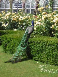Peacock @ Warwick Castle