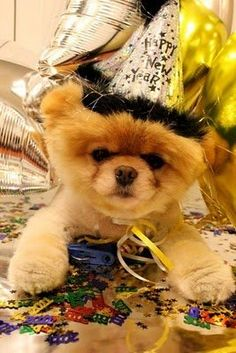 Pomeranian Holiday Dogs Happy New Year Puppy #NewYear Puppies Merry Christmas #2013