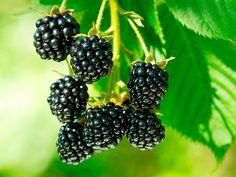 O chá de folha de amora branca é considerado um ótimo reequilibrador hormonal para as mulheres de qualquer idade.