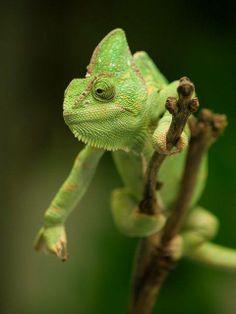 Chameleon by William Warby - wwarby