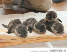 welcome to the world, baby otters!