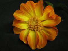 """Brian's Sun"" - bloom type: Peony Flowering, color: orange/yellow, bloom size: 3 in, height: 4ft"