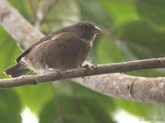Principe Seedeater (Serinus rufobrunneus) - is a species of finch in the Fringillidae family. It is found only on the islands of Sao Tomé and Príncipe off the west coast of Africa.