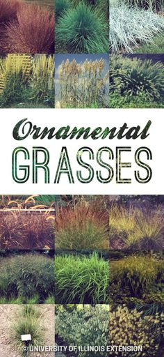 Ornamental grasses — great for any backyard or landscape!