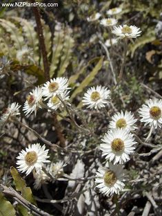 Low, creeping New Zealand native alpine plant. Natural Salt, Alpine Plants, Native Plants, Flower Photos, New Zealand, Planting Flowers, Nativity, Scenery, Landscape
