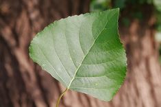 Black poplar is a broadleaf deciduous tree native to the UK and Europe. Identify and learn more about this declining species with the Woodland Trust. Bushes And Shrubs, Poplar Tree, Tree Surgeons, Wood Bark, Sustainable Farming, Deciduous Trees, Woodland Theme, Growing Tree, Blue Accents