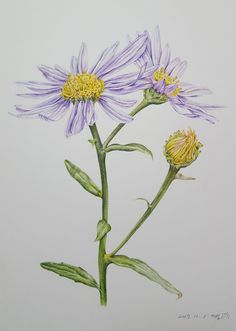 by 까실. Korean starwort, 벌개미취, botanical art, 보태니컬아트, 보타니컬아트, 색연필, 꽃, 일러스트, 꽃그림, 그림, 식물세밀화, flowers, illustration, colored pencils Watercolor Fruit, Watercolor Flowers, Watercolor Paintings, Botanical Drawings, Botanical Prints, Illustration Blume, Cloud Art, Easy Canvas Painting, Flower Photos