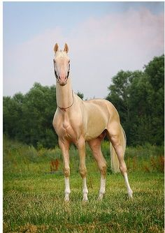 Akhal Teke From Turkmenistan | Turkmenistan's horses Akhal Teke