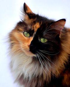 1000+ ideas about Tortoiseshell Cat on Pinterest | Calico ... | 236 x 294 jpeg 12kB