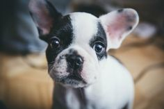 What's The Best Dog Food For French Bulldogs? Here's What To Feed Your Frenchiehttps://petgearlab.com/best-dog-food-for-french-bulldogs
