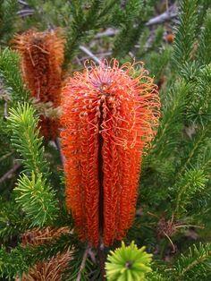A Banksia flower at the Wittunga Botanic Gardens.