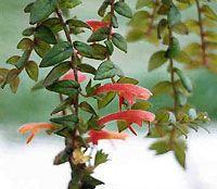 Planta Columnea Microphylla