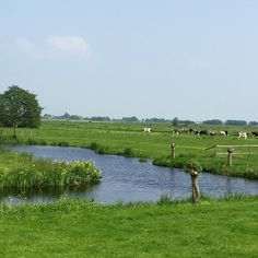 I love this place!! Will be very sad if I have to leave it... #nature #landscape #dutch #netherlands #picoftheday #beautiful #inspiration #cows #home