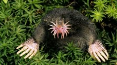 starnosed mole Rare and Unusual Animals (Photo Gallery)