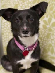 RUTHIE is an adoptable Dachshund Dog in Boston, MA.