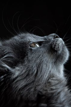 Free download of this photo: https://www.pexels.com/photo/photo-of-gray-cat-looking-up-against-black-background-730896/ #animal #pet #cute