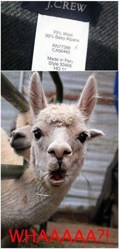 Baby Alpaca? .