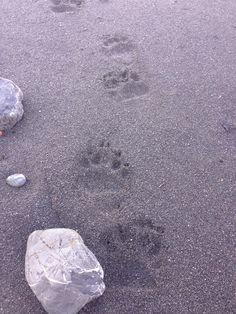 Bear Tracks !!!  Lost Coast Hiking trail.  Northern California North American Animals, Animal Tracks, Northern California, Hiking Trails, Bears, Coast, Survival, Outdoors, Tattoos