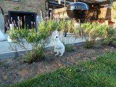 Pippi er ved at trimme lavendelbuskene.    #kaniner #huskaniner #kaninhaandbogen