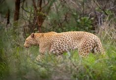red-leopard-south-africa_51436_600x450.jpg (600×415)