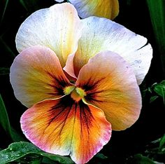 """I was taking a break from making jewelry for my Etsy shop and found this beautiful pansy. It is so interesting that my iPhone always goes right for the """"faces"""" of pansies. Rare Flowers, Exotic Flowers, Beautiful Flowers, Purple Flowers, Flower Images, Flower Pictures, Cactus Flower, Flower Art, Fleur Pansy"""