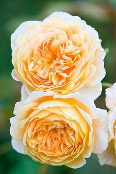 ~'Crown Princess Margareta' by Clive Nichols