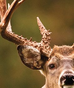 Deer Hunting Tips: How to Read Buck Body Language [ EgozTactical.com ] #hunt #tactical #survival Whitetail Hunting, Moose Hunting, Big Game Hunting, Archery Hunting, Turkey Hunting, Hunting Girls, Hunting Gear, Whitetail Bucks, Crossbow Hunting