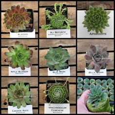 Items similar to 8 Hens and Chicks In this Succulent Sempervivum Potted Plant Collection One on Etsy Rock Garden Plants, Planting Succulents, House Plants, Succulent Plants, Sempervivum, Plant Projects, Propagating Succulents, Hens And Chicks, All Plants