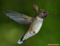 Animales increíbles: Colibrí-Conejo