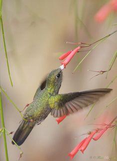Glittering-throated Emerald hummingbird feeding (Amazilia fimbriata), photographed in Brasília, Brasil by Flávio Cruvinel Brandão.
