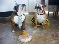 """❤ """" Can I eat the CAKE now MOM? """" and all while the birthday """"girl"""" poses for the shot. LOVE THEM !! Rambo & Coco sharing Coco's 1st B-Day ❤ Posted on Bulldog Mom"""