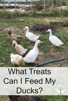 What Should You Feed Your Ducks The Homesteading Hippy - What Can You Feed Ducks Should You Give Them More Than Just Duck Feed Find Out Here Raising Ducks In Your Backyard Is A Great Way To Get Fresh Eggs Entertainment And Quality Compost But When It Backyard Ducks, Backyard Poultry, Backyard Farming, Chickens Backyard, Backyard Birds, Backyard Patio, Pet Ducks, Baby Ducks, Portable Chicken Coop