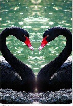 Un par de cisnes negros amorosos.