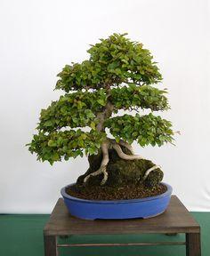 Newbury & District bonsai show 2013   Flickr: Intercambio de fotos