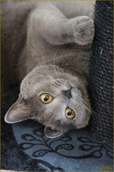 Cat - Carthusian - Griffon on www.yummypets.com
