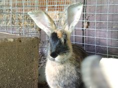 Clover:  4 month old pet quality Harlequin Breed rabbit I won from the 4-H Silent Auction