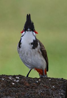 Red-whiskered Bulbul  (Pycnonotus jocosus) - Native of tropical Asia, but have been seen in small pockets of North America.