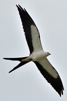 Swallow-tailed Kite - Have seen one of these also over the weekend.    http://milesforacure.wordpress.com/