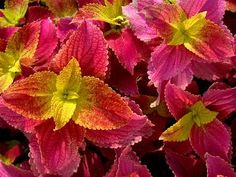Growing Coleus from Cuttings