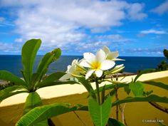White Plumeria, Old San Juan, Puerto Rico