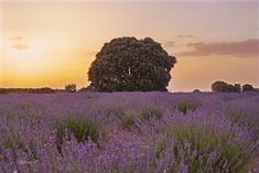 Campos de lavanda en La Alcarria - null (Fields of lavender in La Alcarria)