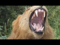 Kruger National Park, National Parks, Early Morning, Summer Days, Lions, Cats, Animals, Lion, Gatos