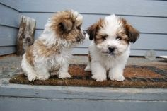 Discover and share Shih Tzu Puppy Quotes. Explore our collection of motivational and famous quotes by authors you know and love. Cute Little Puppies, Cute Little Animals, Cute Puppies, Cute Dogs, Puppies For Sale, Dogs And Puppies, Doggies, Puppy Quotes, Shih Tzu Puppy