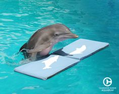 Winter the dolphin! Did you know one of Winter's favorite things to do is play on her mat? Watch her live daily on our webcams to see for yourself!
