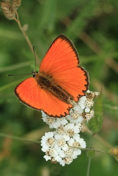 Scarce Copper Butterfly, Rila Mountains, Bulgaria by Michael Field