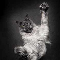 Felis Gallery by Robert Sijka Page Liked · 1 hr ·   Friday!!!!!!!!!!! _________________________________________________ #cats #mainecoon #mcovivo #catphotography https://www.facebook.com/felis.gallery/photos/a.810804448944552.1073741828.809531749071822/2073400976018220/?type=3&theater