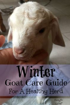 Winter Goat Care Guide | Caring for Goats through the Winter | Raising Goats