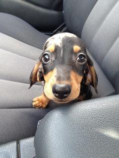 dachshund puppy in front seat