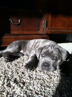 Cane corso...Want one of these dogs. Ultimate Security